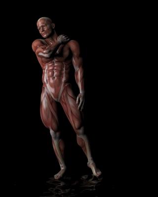Anatomie humaine musculaire pour illustrer les traitements musculaires offerts par l'ostéopathie