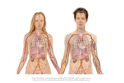 Anatomie humaine montrant veines et artères